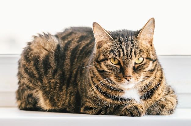 El gato atigrado se sienta en el alféizar de una ventana y mira a su alrededor.