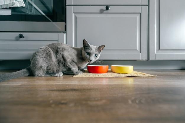 Gato azul ruso con hocico emocional expresivo divertido comer comida para gatos en kitechen en casa. retrato del gatito encantador de la cría que cena en casa. lindo gatito hambriento comiendo en el piso