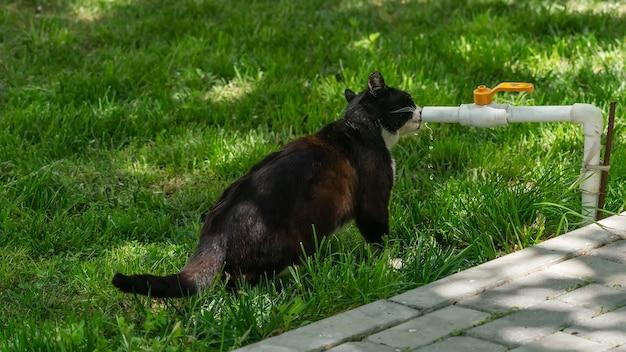 Gato bebe agua de un grifo de riego en el jardín