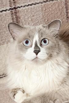 Gato beige tumbado en el sofá