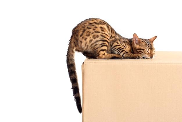 Gato de bengala con caja en blanco