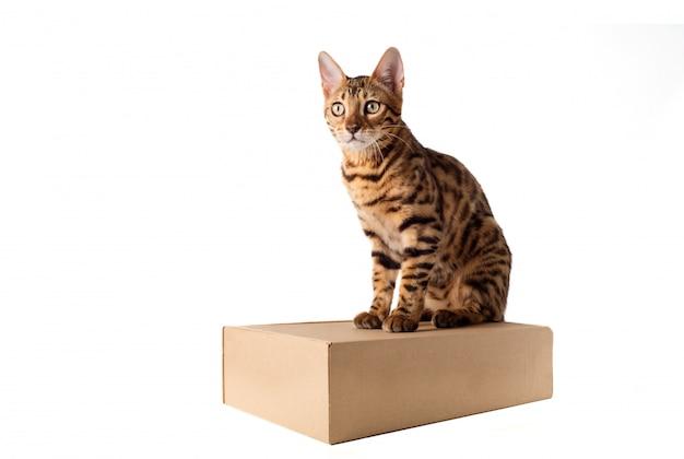 Gato de bengala con caja sobre fondo blanco