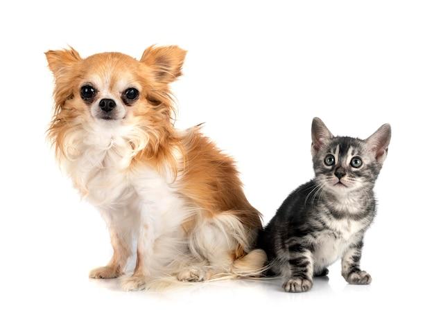 Gato de bengala y chihuahua delante de un fondo blanco