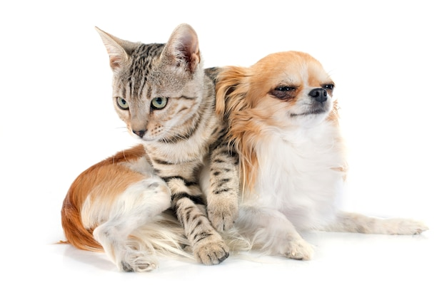 Gato de bengala y chihuahua