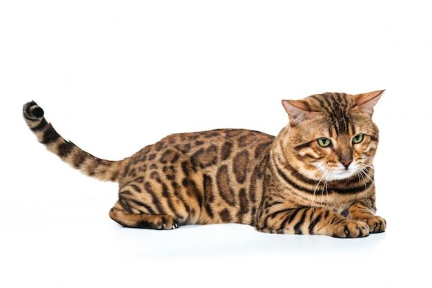 Gato de bengala dorado sobre blanco