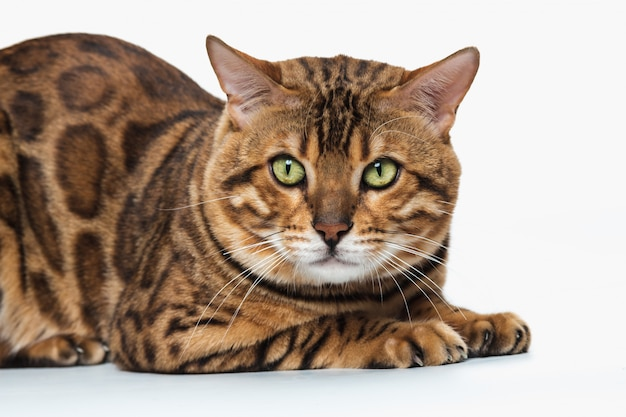 El gato de bengala dorado sobre fondo blanco.