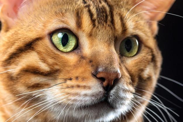 El gato de bengala dorado sobre fondo negro