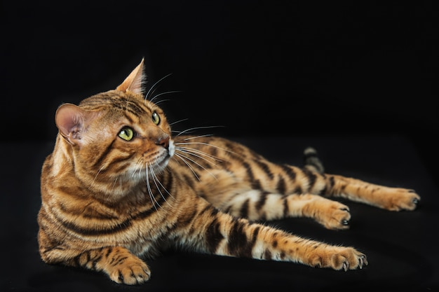 Gato de bengala dorado sobre negro