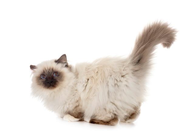 Gato birmano aislado en blanco