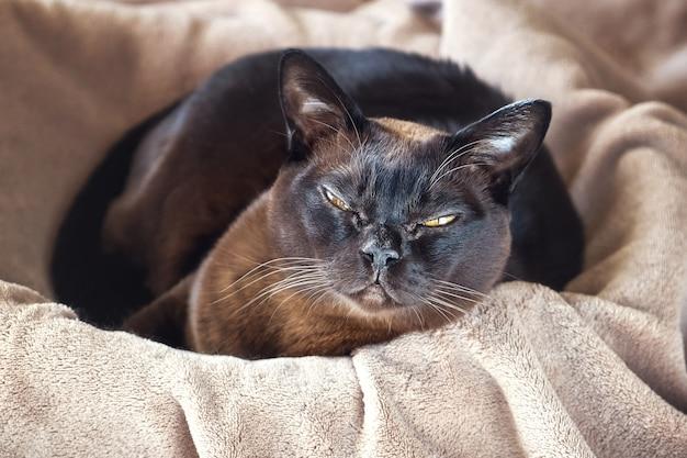 Gato birmano que miente en una cesta.