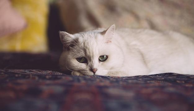 Gato blanco está descansando en la cama en el dormitorio. mirada de gato