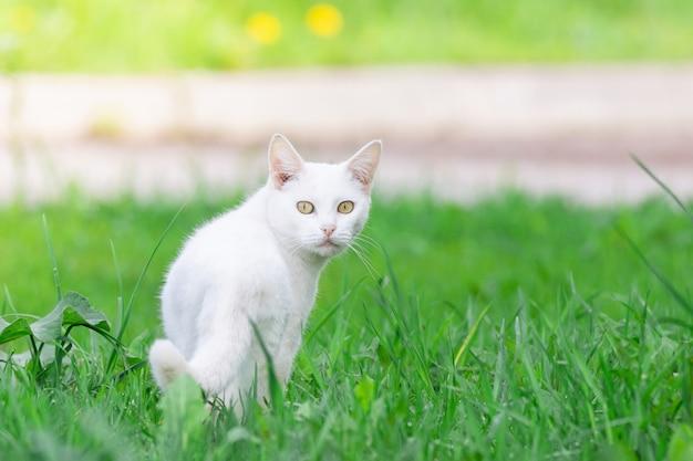 Gato blanco en la hierba