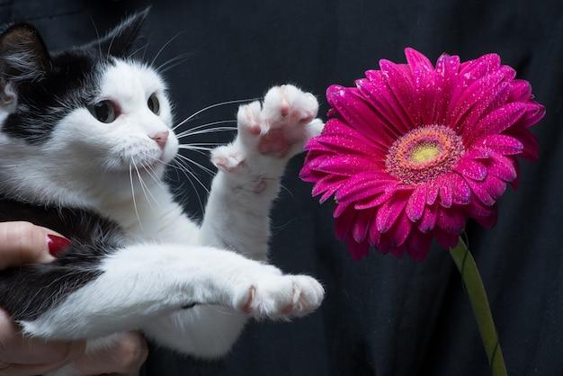 El gato blanco y negro lindo toca la flor con la pata que se sienta en las manos de la amante