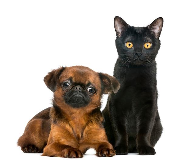 Gato de bombay sentado junto a petit brabancon