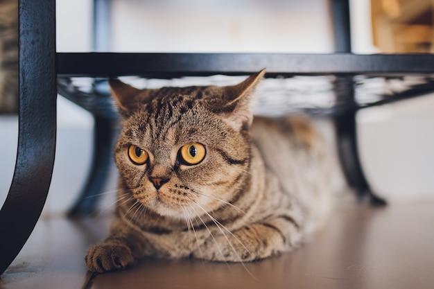 Gato británico en casa sentado debajo del armario.