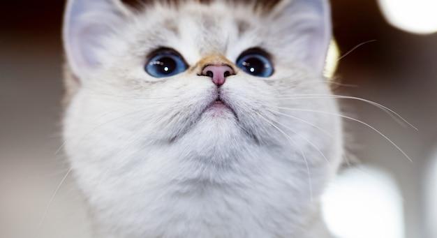 Gato británico de color blanco con ojos azules.