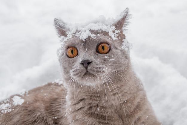 Gato británico con grandes ojos amarillos en la nieve del invierno