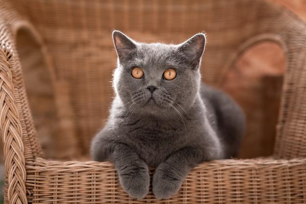 Gato británico gris acostado en una silla de mimbre en la terraza