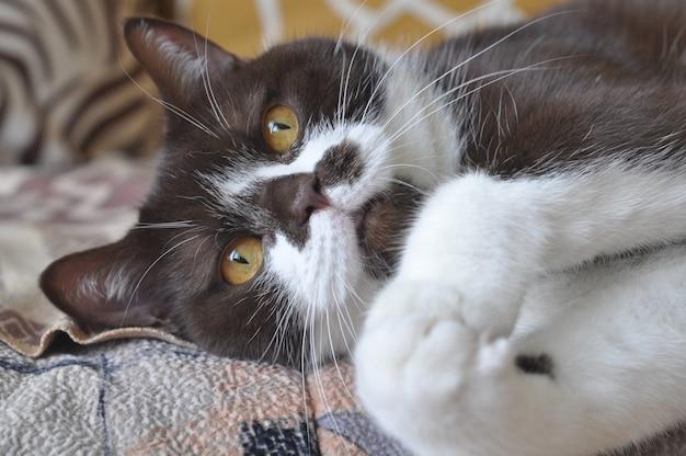 Gato británico de pelo corto con brillantes ojos amarillos
