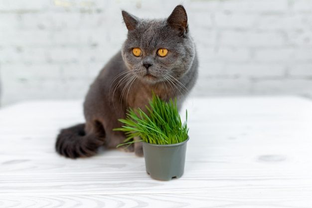Gato británico de pelo corto él come útil hierba rica en vitaminas en una olla de una tienda de mascotas.