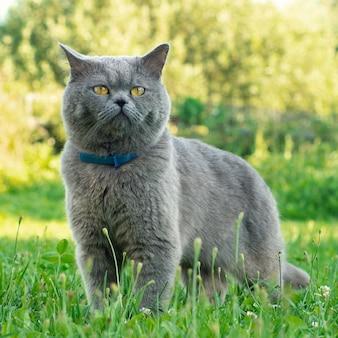 Gato británico de pelo corto vistiendo un collar antipulgas azul se encuentra en la hierba verde en el jardín de verano
