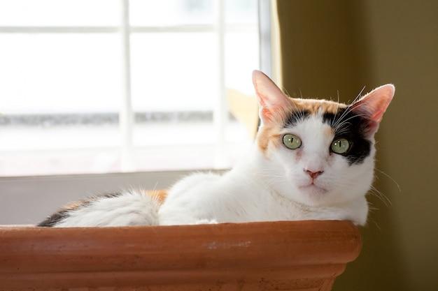 Un gato calico tumbado en el baño de barro mira fijamente a la cámara.