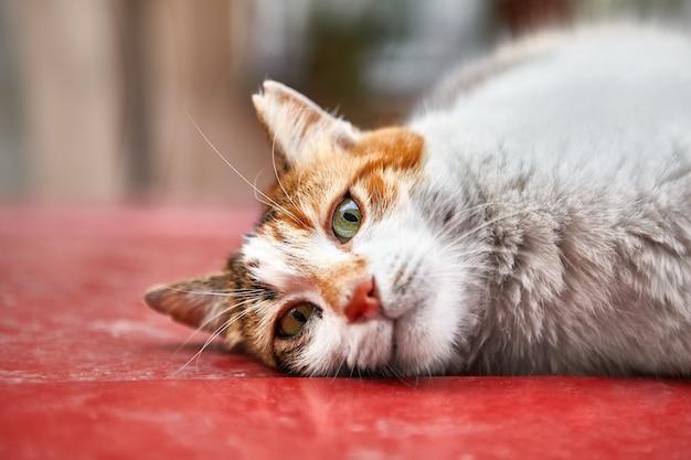 Un gato callejero descansa sobre el techo de un coche rojo en la estambul turca