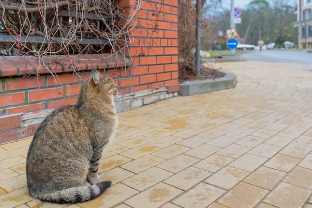 Un gato callejero multicolor mullido se sienta en la acera y mira en la dirección.