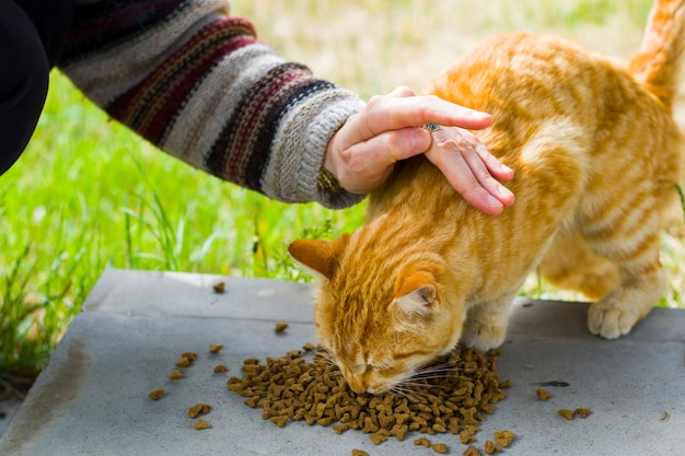 Gato con comida para gatos, proceso de alimentación, gato de jengibre