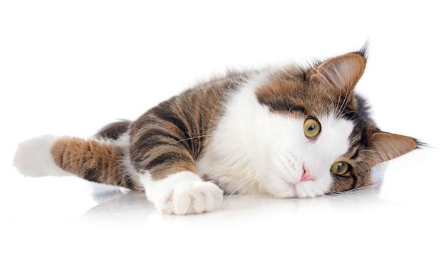 Gato coon de maine