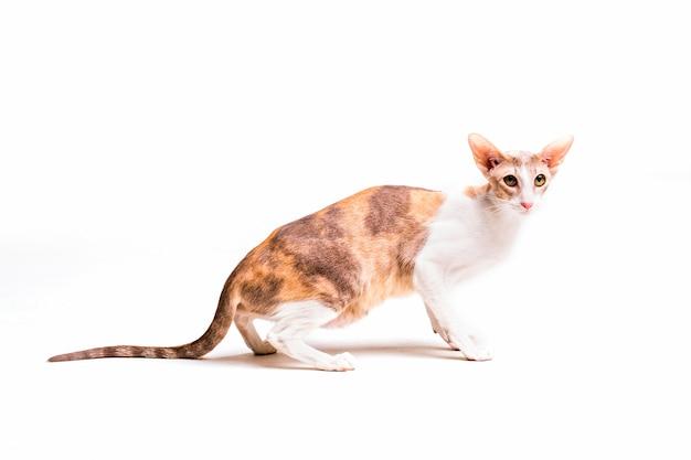 Gato córneo del rex aislado en el fondo blanco