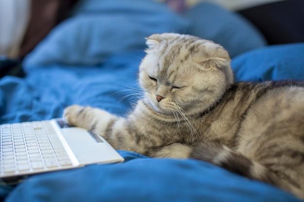 El gato doble escocés yace cerca de la computadora portátil y pone su pata en el teclado
