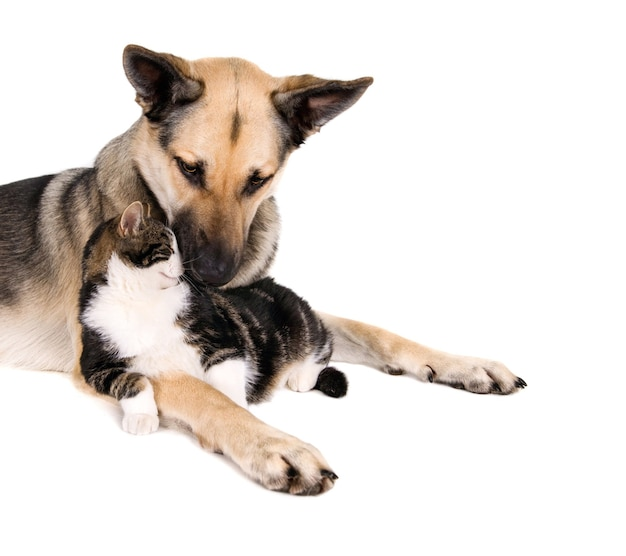 Gato doméstico acostado en el regazo de un perro marrón sentado sobre una superficie blanca