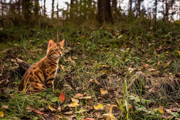 Gato doméstico de bengala en el bosque de otoño bajo el sol