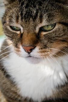 Gato doméstico enojado