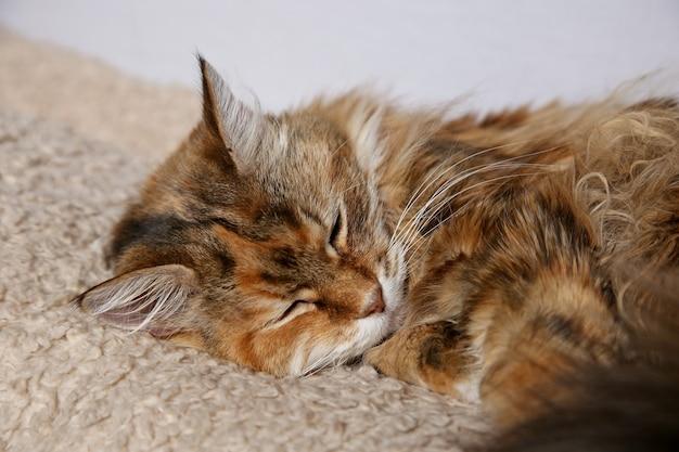 Gato doméstico esponjoso con hermosos colores durmiendo sobre una alfombra