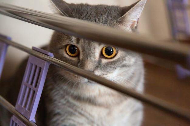 Gato doméstico gris de pura raza británica se esconde y mira a un lado con grandes ojos invisibles