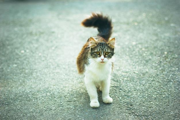 Un gato doméstico lindo gris marrón esponjoso blanco en el exterior o parque
