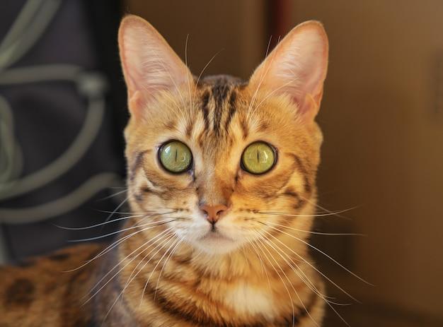 Un gato doméstico mira a la cámara con una mirada de sorpresa.