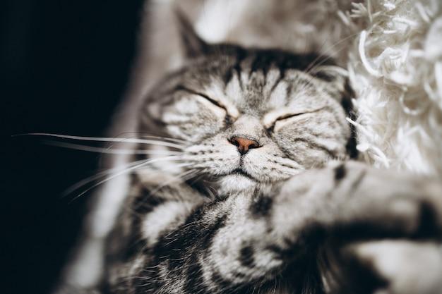 Gato doméstico soñoliento en el sofá