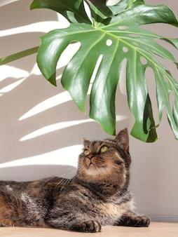 Un gato doméstico yace bajo una hoja de monstera a la luz del sol, dejando largas sombras en una pared de hormigón en casa.
