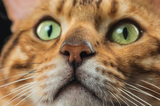 El gato dorado de bengala en la pared negra
