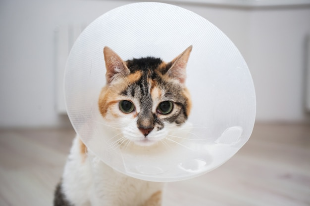 Gato enfermo con cono veterinario o collar de cono de plástico en la cabeza para proteger al gato de lamer una herida
