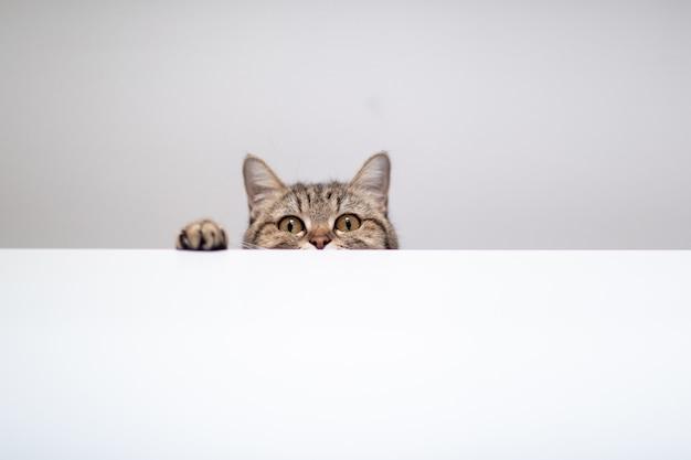 Gato escondido en fondo blanco con copyspace.