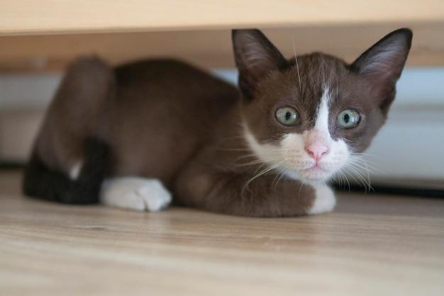 Gato gatito de chocolate se esconde debajo de la mesa de madera para seguir viendo algo