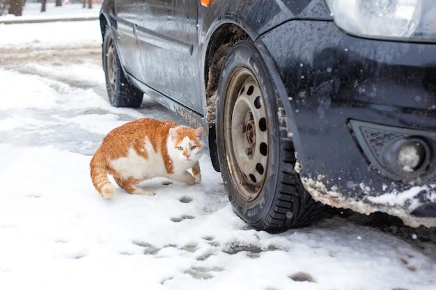 Gato gordo blanco-rojo camina en la nieve en el patio cerca del auto