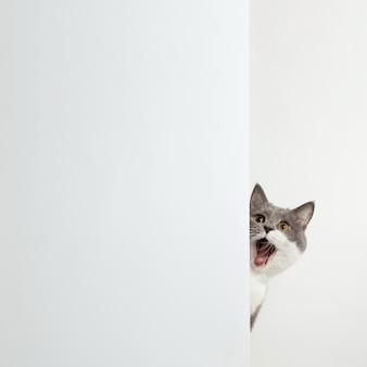 Gato gris se asoma por la esquina, emociones animales, en un concepto de mascota blanco.