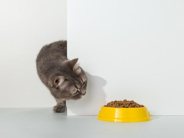 Gato gris asoma por la esquina, emociones animales, mira un plato de comida, en un concepto blanco.