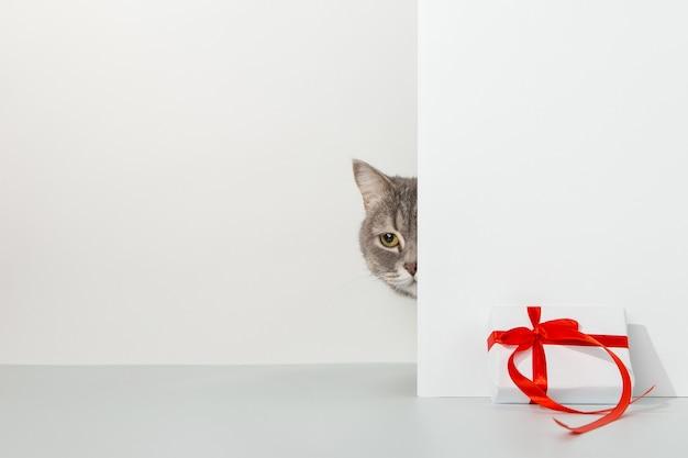 Gato gris asoma por la esquina, emociones animales, regalo, día de san valentín, en un concepto blanco.