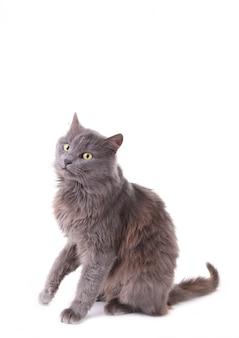 Gato gris hermoso aislado en un fondo blanco